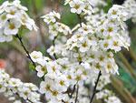 flowering-spiraea
